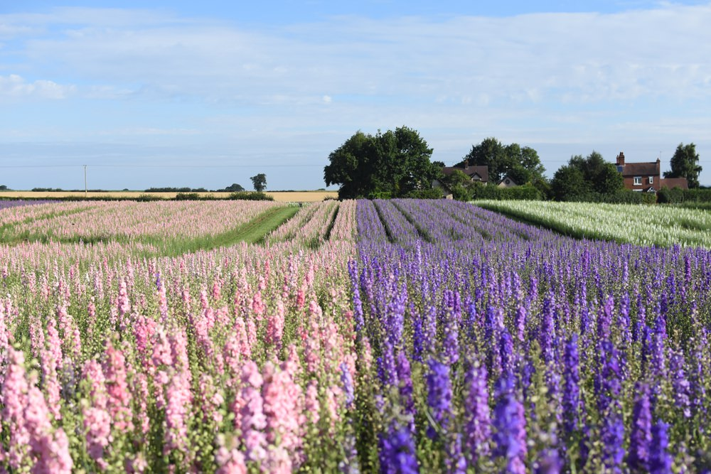 Shropshire Petals Flower Field - Delphiniums Candy Floss and Midnight Bloom